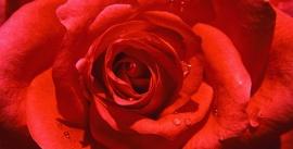 red-rose-490x250